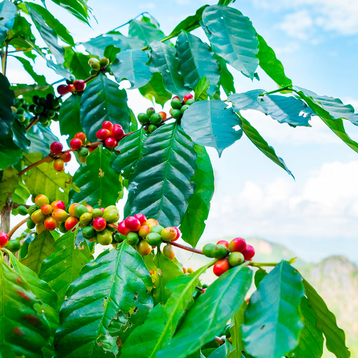 Caffeine and Hair Growth – Nature's Secret Weapon?